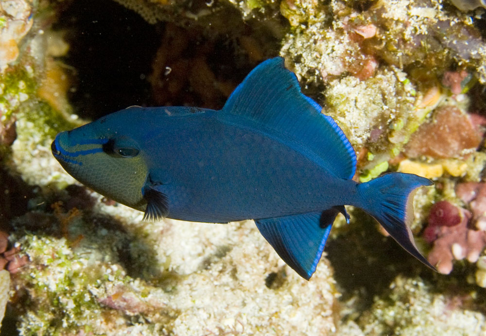 rtedtooth triggerfish