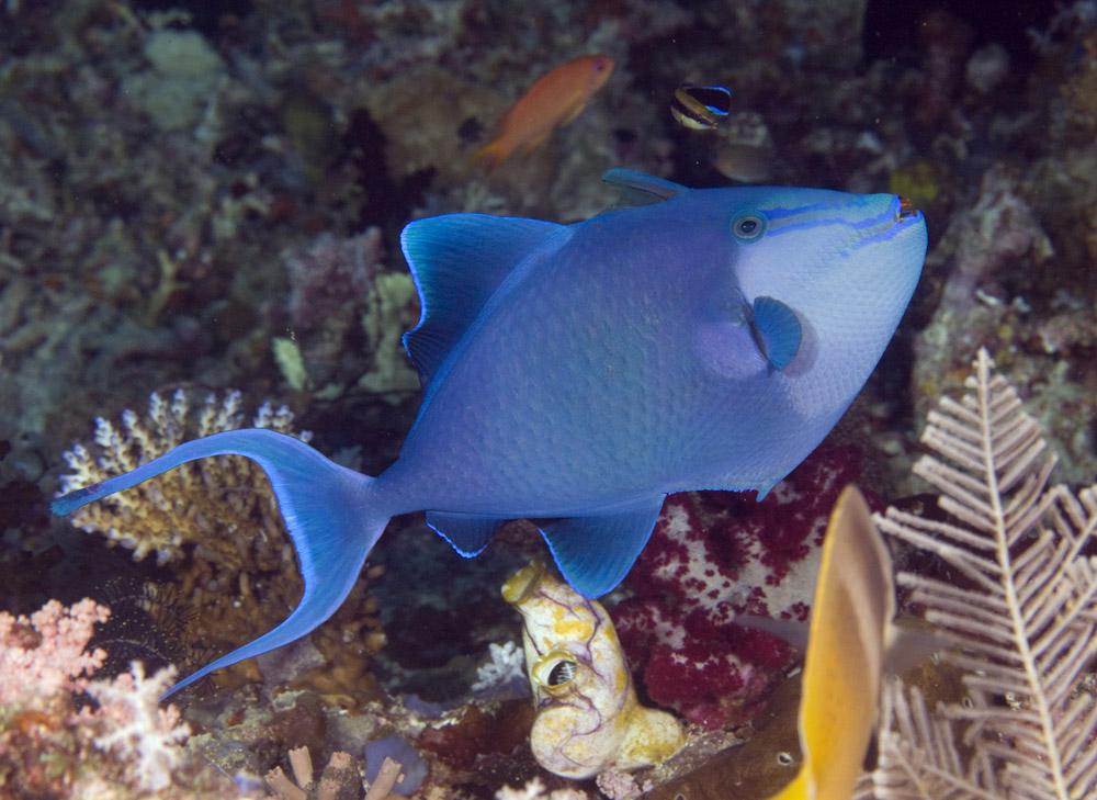 redtooth triggerfish