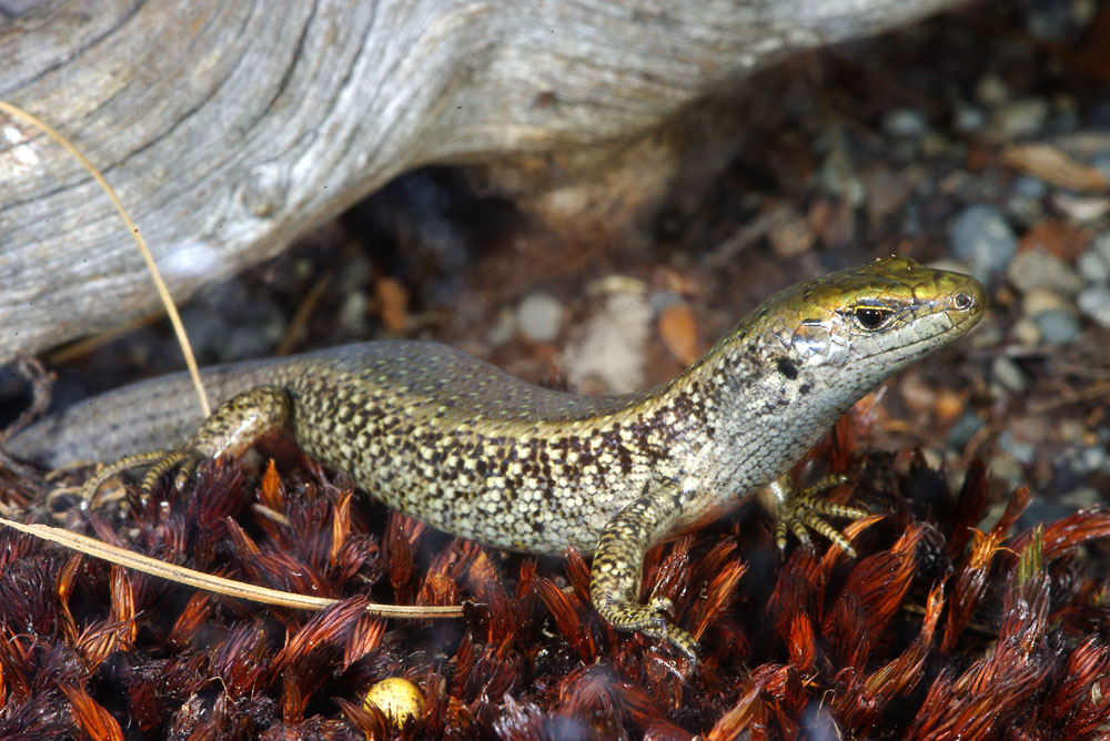 spotted skink
