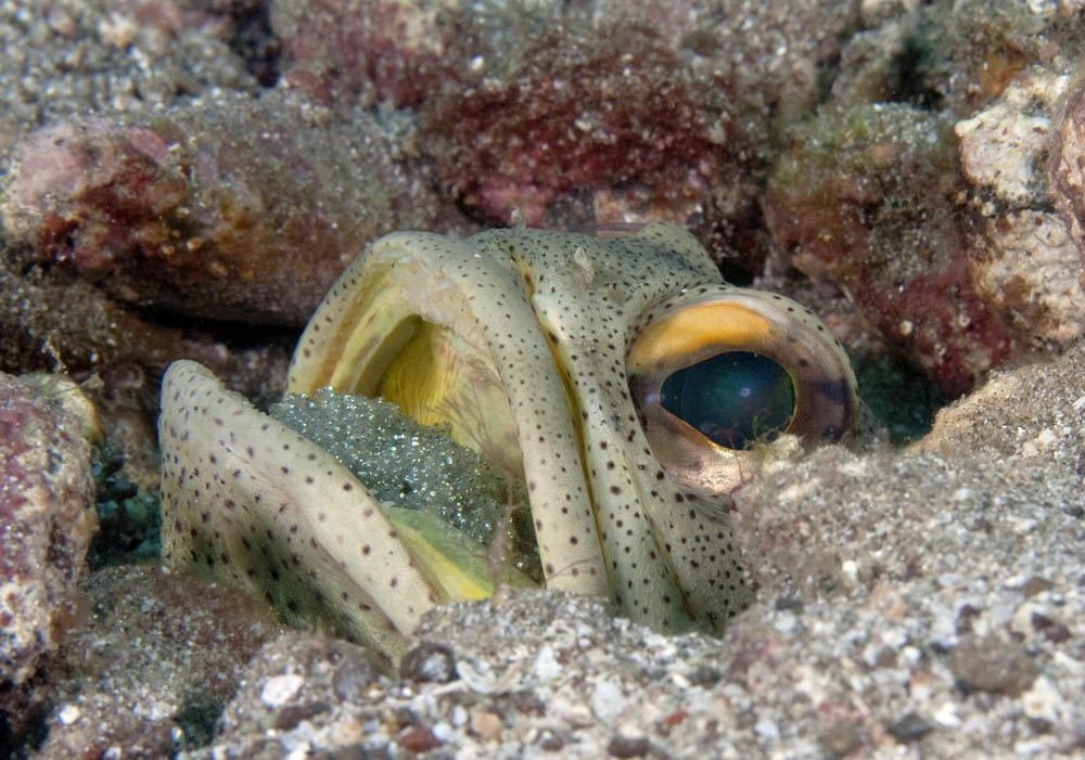 Opistognathus punctatus, Finespotted jawfish, egg brooding male