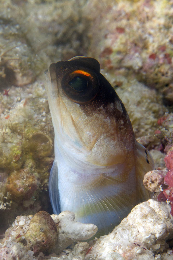 Opistognathus species Yellowbarred jawfish Kri Eco Raja Ampat