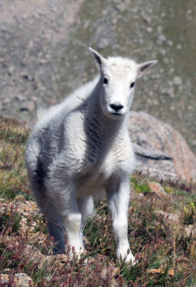 Mountain goat youngster