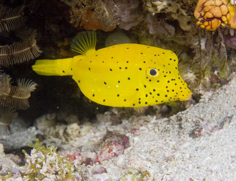Ostracion cubicus Yellow boxfish juvenile