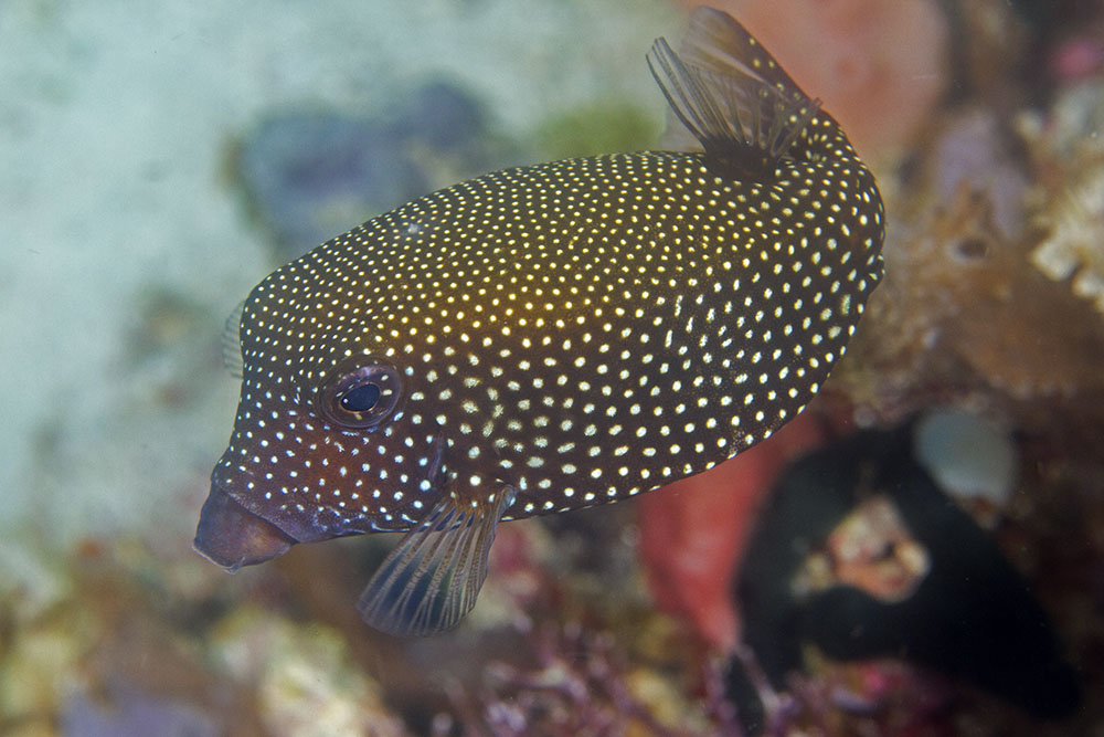 Ostracion meleagris Spotted boxfish female Raja Ampat
