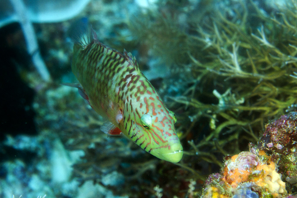 linecheeked wrasse