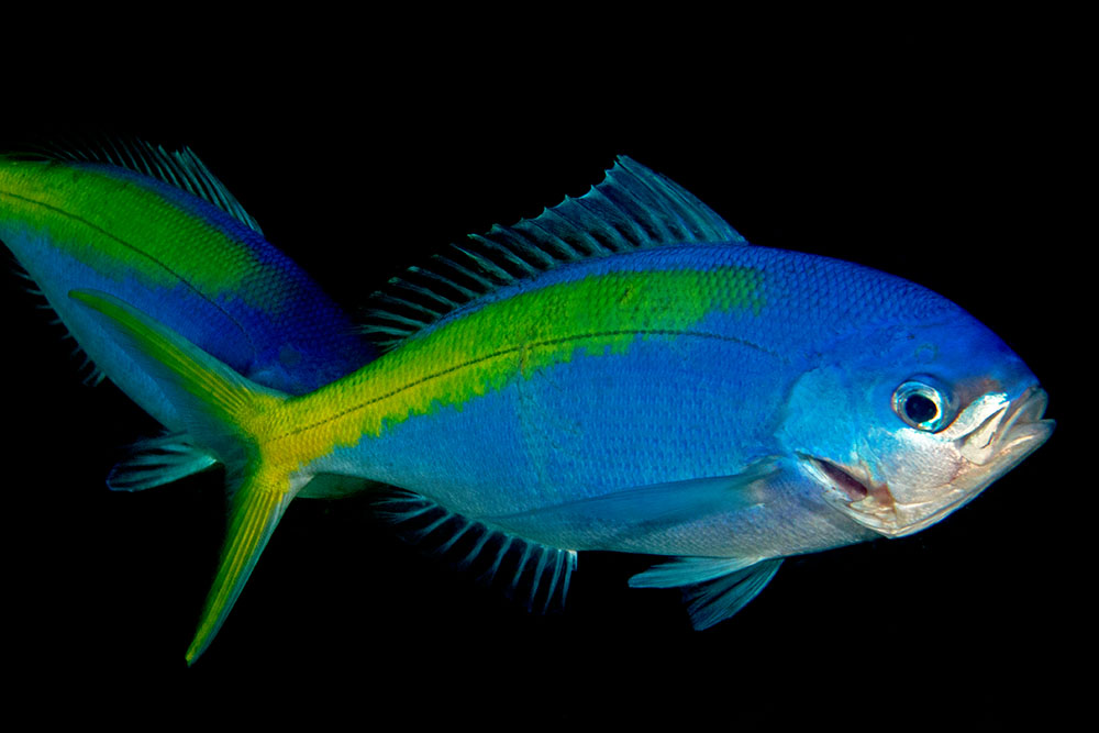Paracaesio xanthura Blue-and-yellow snapper, Julian Rocks, Byron Bay, Australia