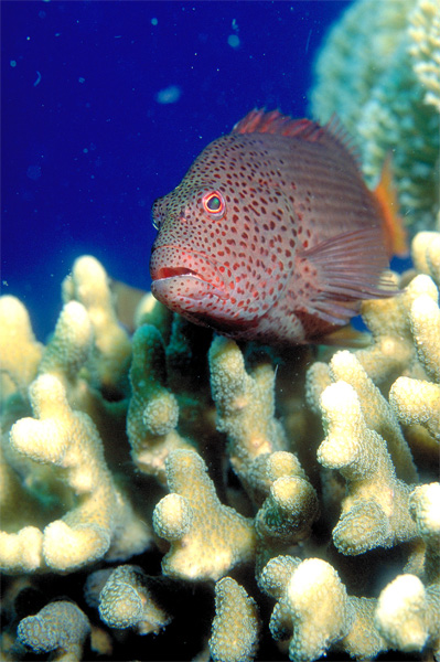 vertical of feckled hawkfish on coral
