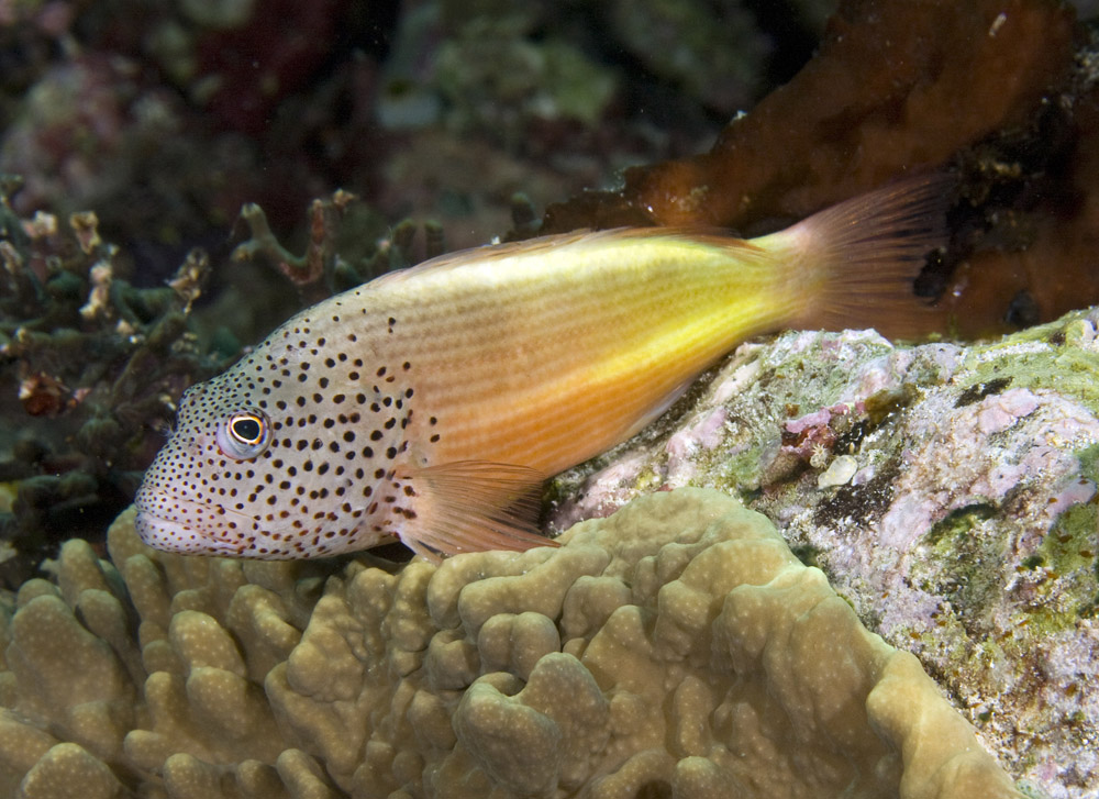 freckled hawkfish typical color pattern