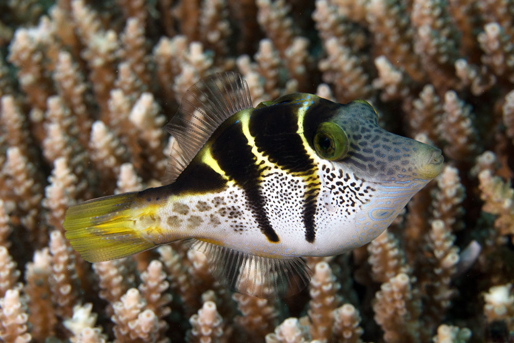 Paraluteres prionurus, Mimic filefish, Mike's Bommie, Great Barrier Reef IMG_8618.jpg
