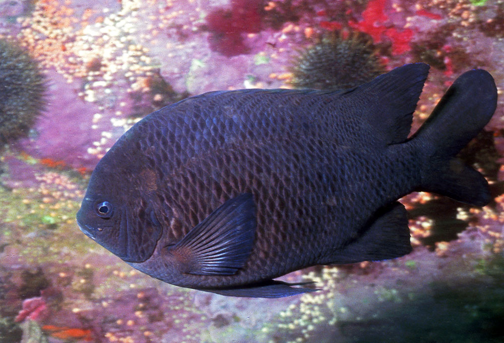 Parma alboscapularis Black angelfish