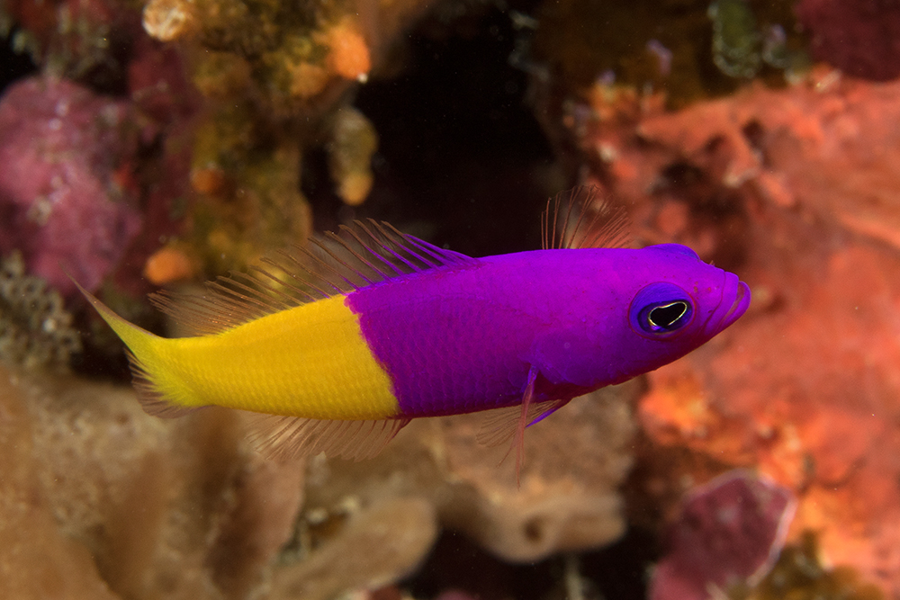 Pictichromis coralensis Bicolor dottyback, Steve's Bommie, Great Barrier Reef