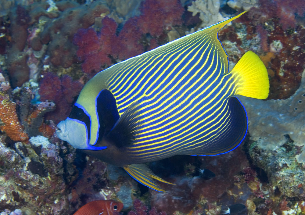 Imperial angelfish photo
