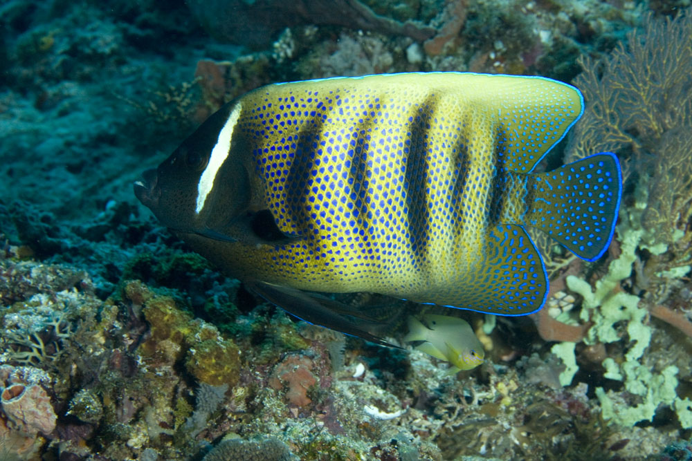 sixbanded angelfish