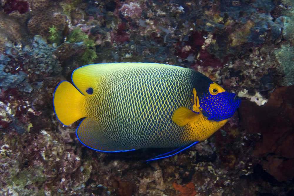 yellowmask angelfish photo