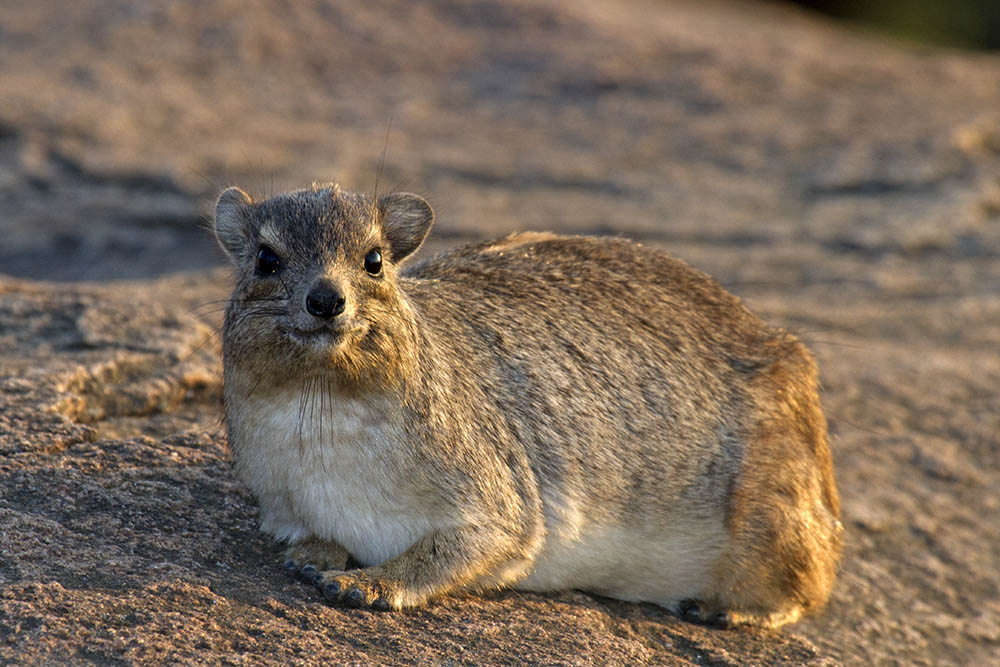 Procavia capensis Rock hyrax in early evening sunshine