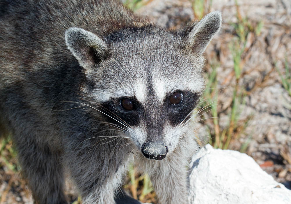 Cozumel or pygmy raccoon portrait