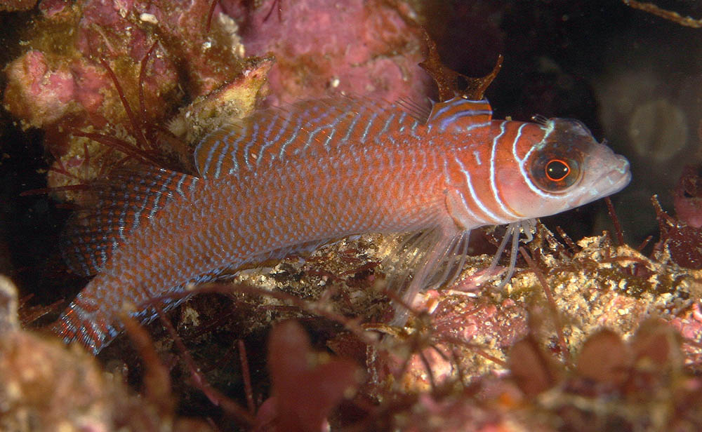 Ruanowho whero Spectacled triplefin (Tripterygidae), Poor Knights, New Zealand