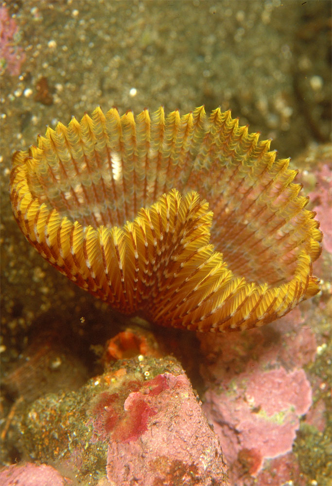 Sabella featherduster worm, New Zealand