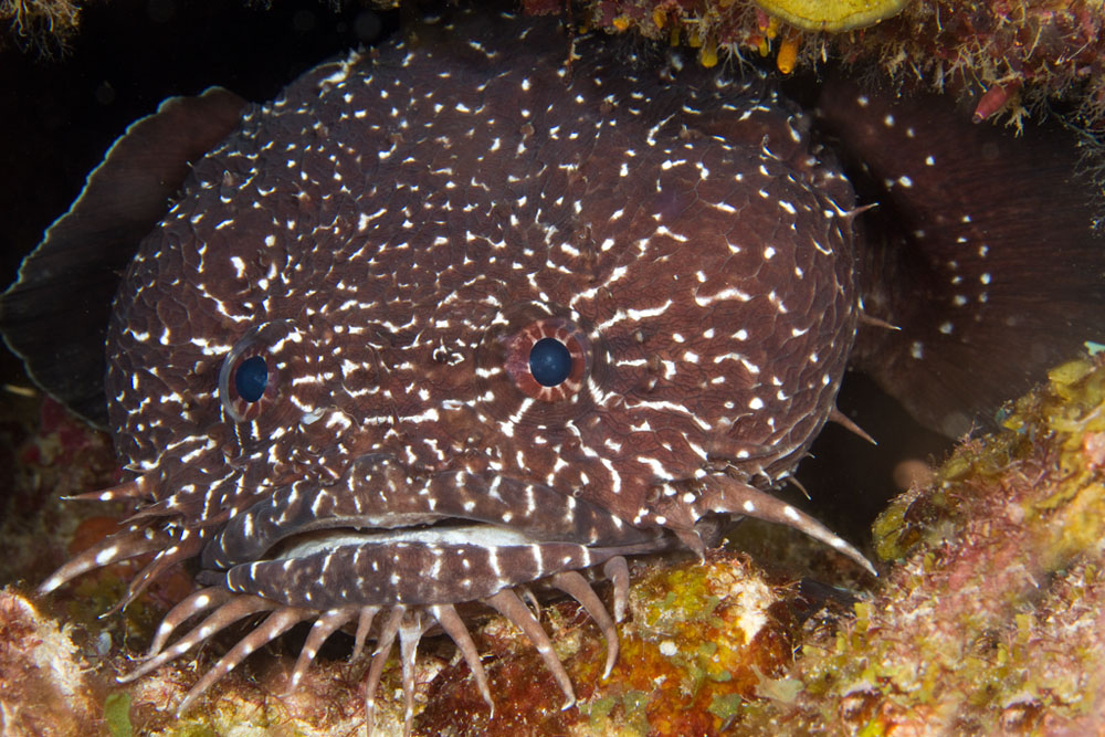whitespotted toadfish