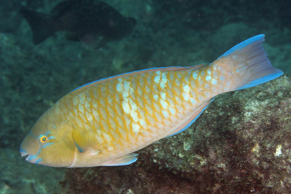 Scarus ghobban Bluechin parrotfish initial phase Sea of Cortez