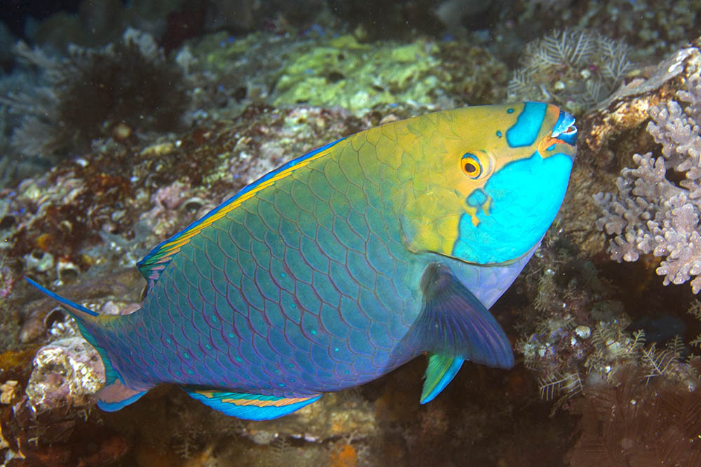 Scarus prasiognathus Greenthroat parrotfish