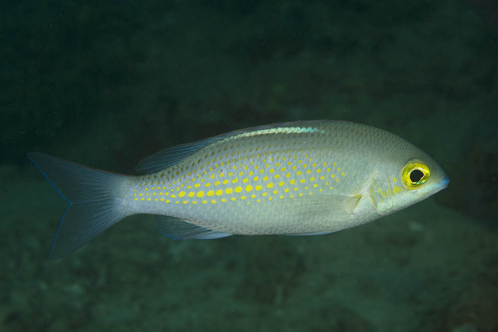 Scolopsis ciliatus Whitestreak monocle bream Puerto Galera, Philippines