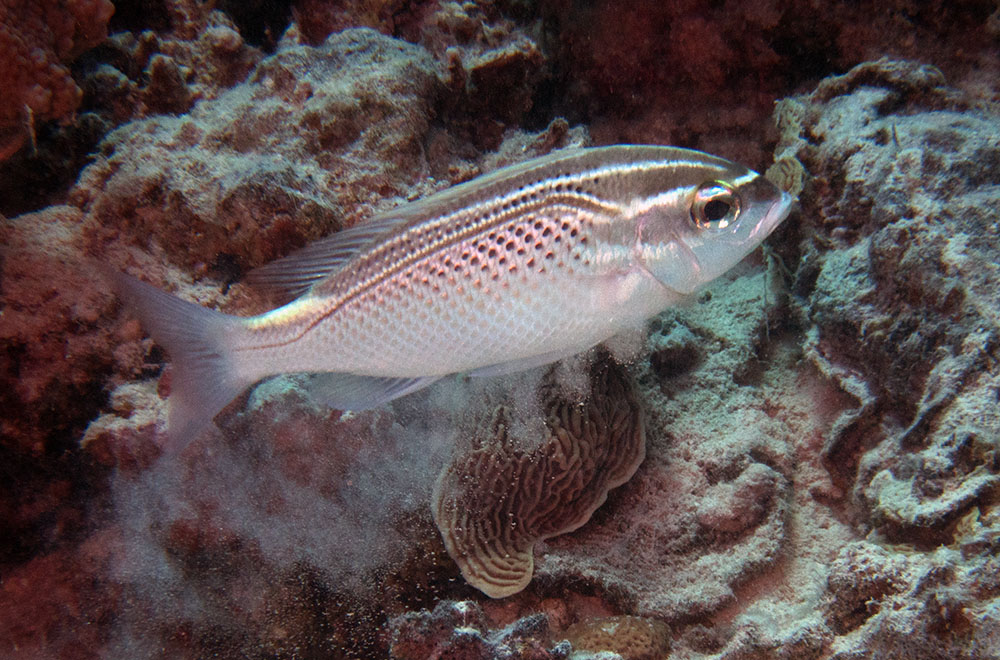 Scolopsis garnam, Arabian monocle bream Red Sea