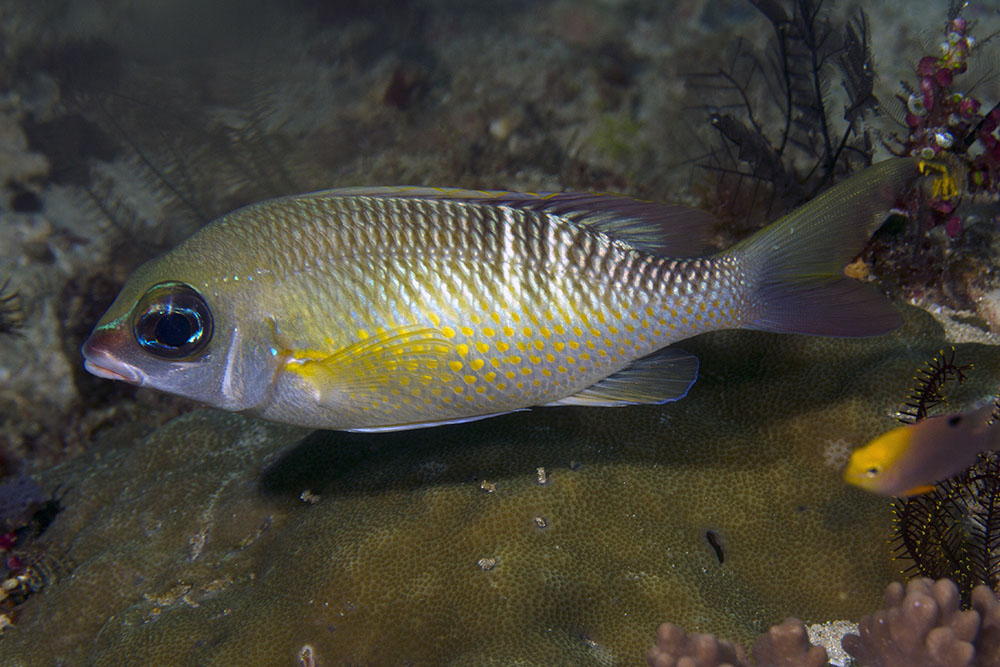 Scolopsis margaritifer Pearly monocle bream Raja Ampat