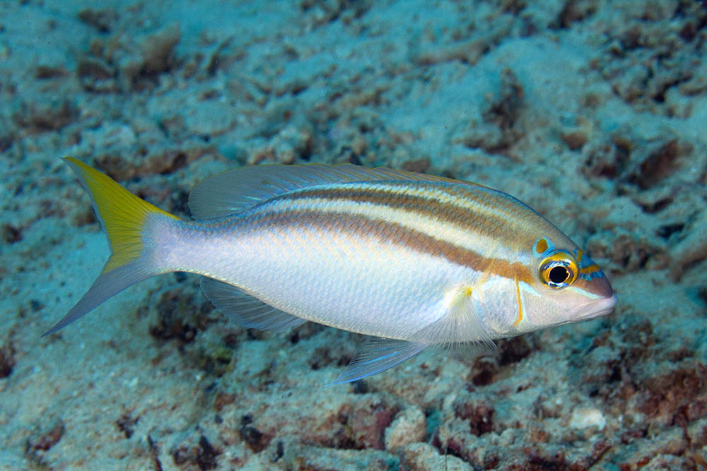 Scolopsis temporalis Rainbow monocle bream Kri Eco, Raja Ampat