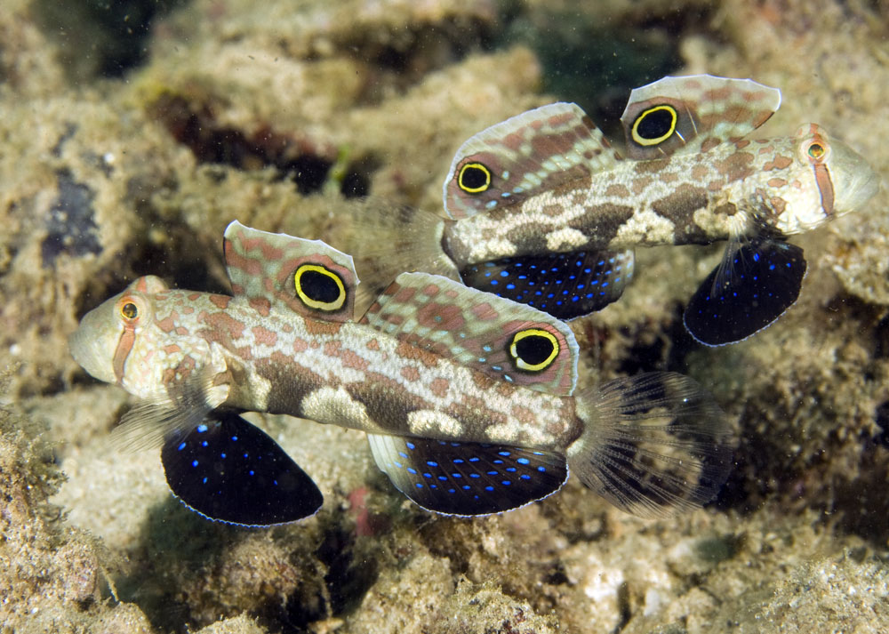 photo of singal goby pair