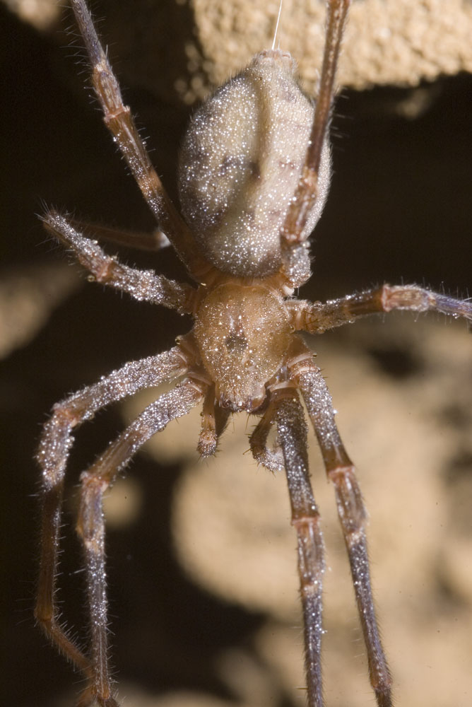 close up of cave spider Spelungula cavernicola covered with condensation