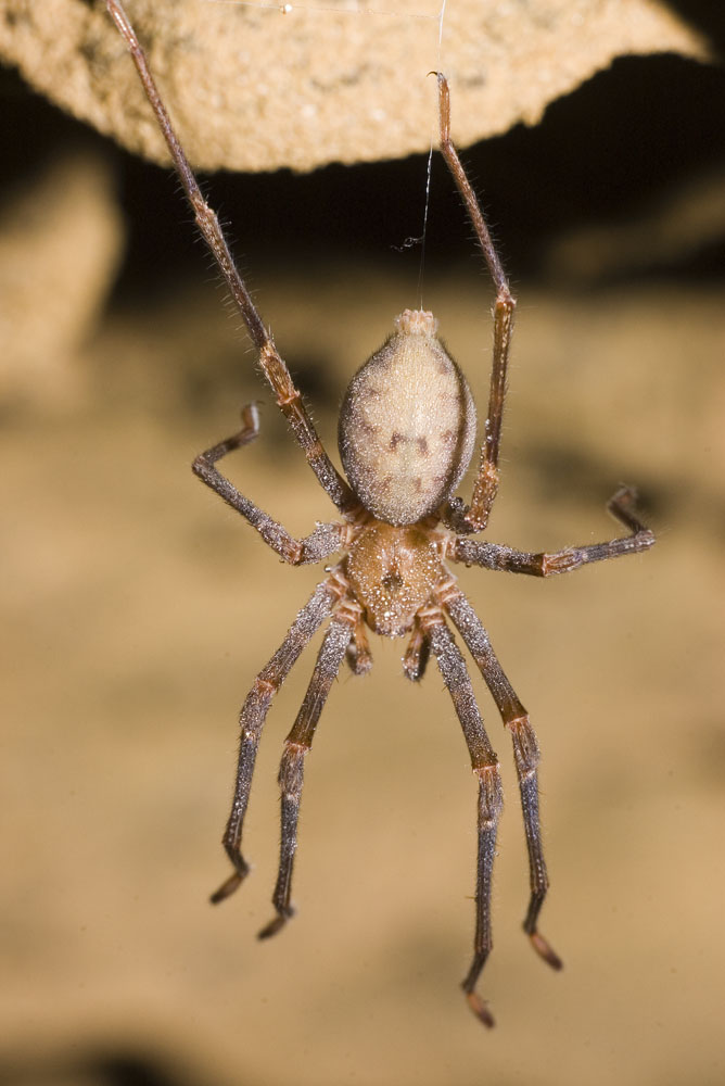 Spelungula cave spider hanging from roof of cave
