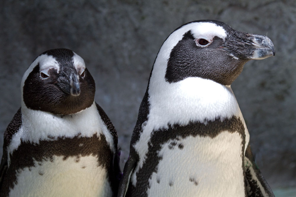 black-footed penguins