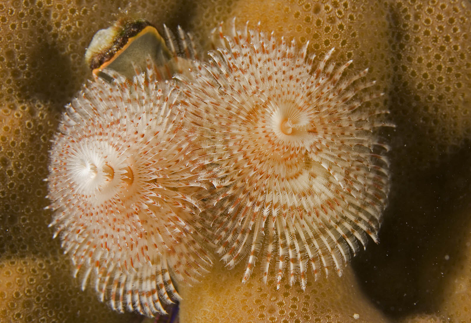 Spirobranchus giganteus Christmas tree worm speckled