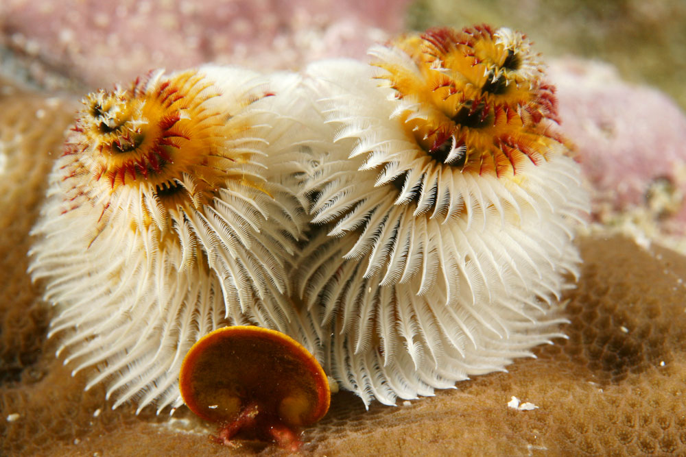 Yellow and white Christmas tree worm
