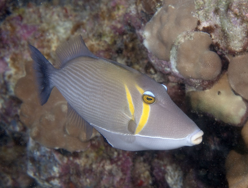 scythe triggerfish photo