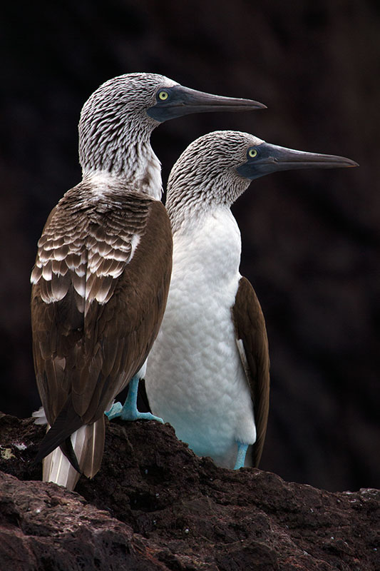 Sula nebouxii Blue-footed booby, Isla Carmen, Sea of Cortez