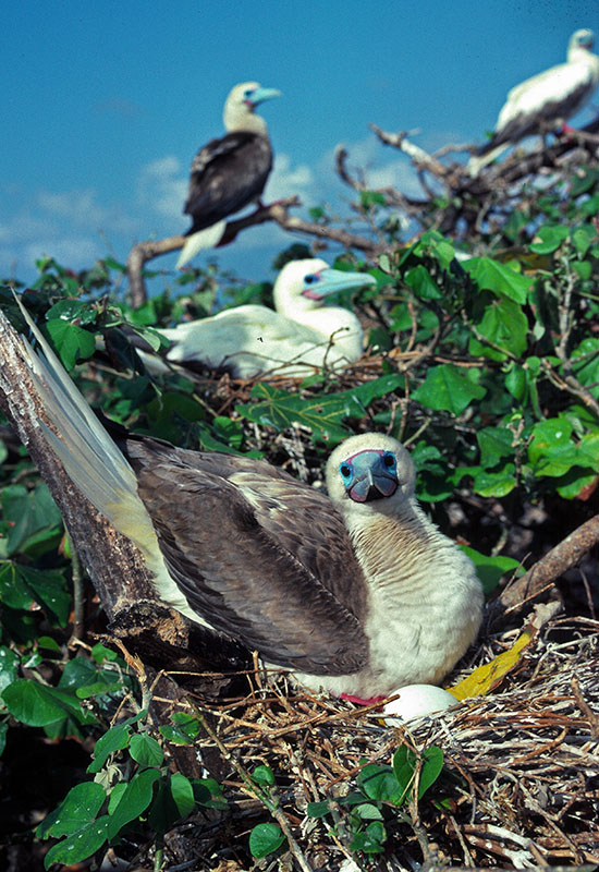 Sula sula on nest with egg