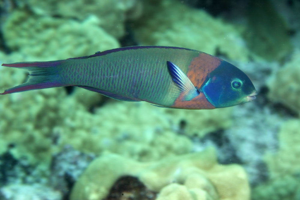 terminal phase saddle wrasse