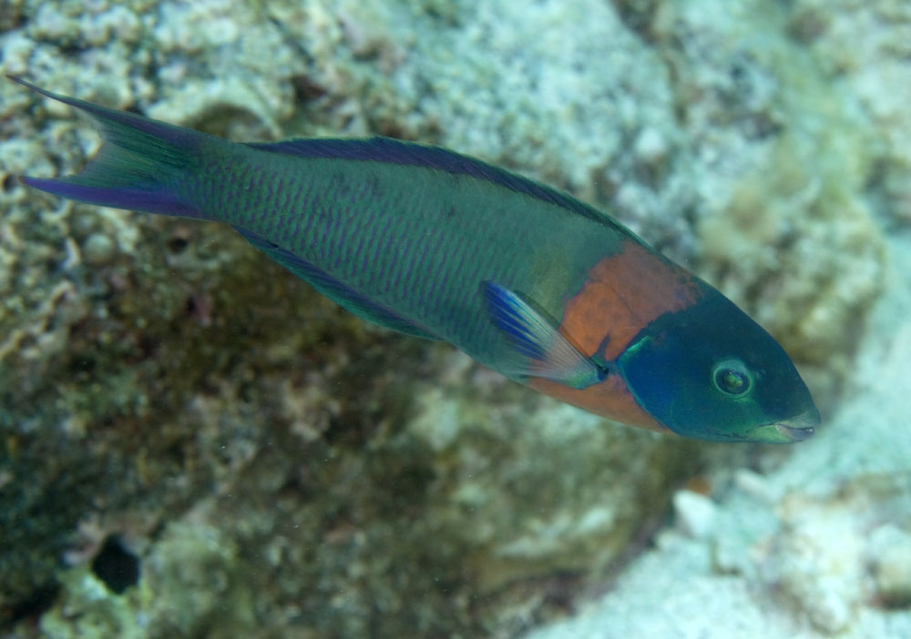 saddle wrasse photo