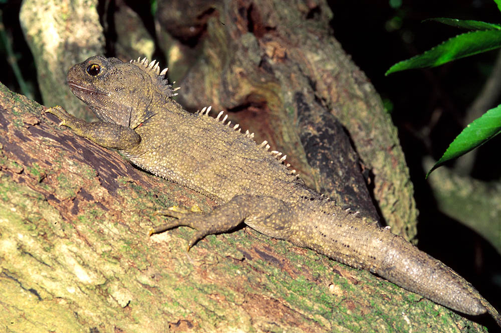 Tuatara regenerated tail on branch