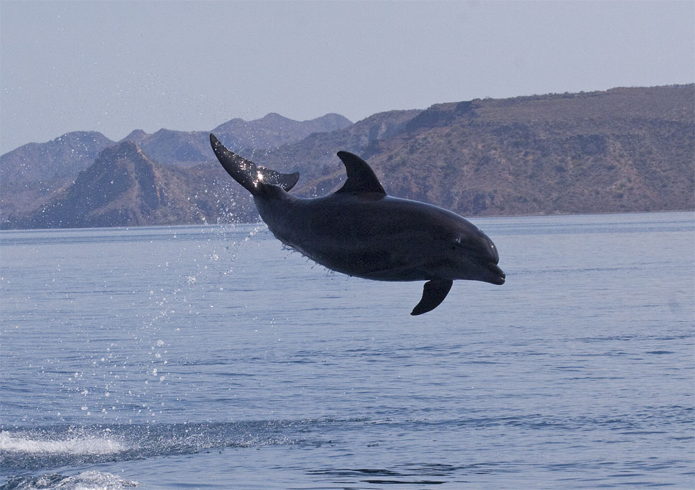 Common bottlenose dolphin leapng ou tof water, Sea of Cortez