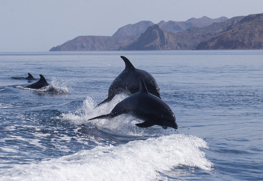 Common bottlenose dolphins riding wake, Sea of Cortez