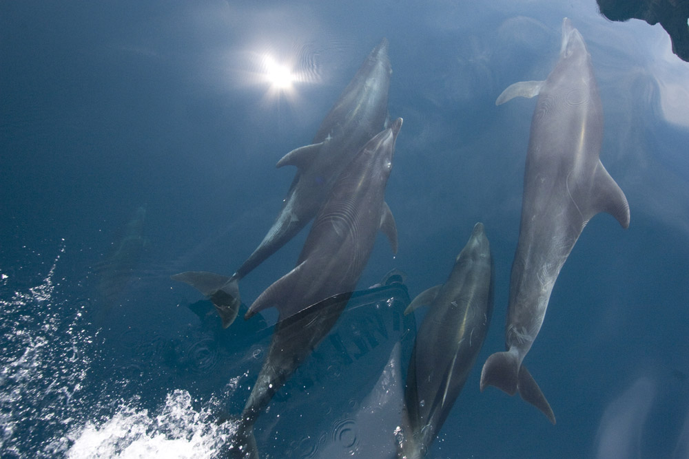 Bottlenose dolphins riding bow wave, Sea of Cortez