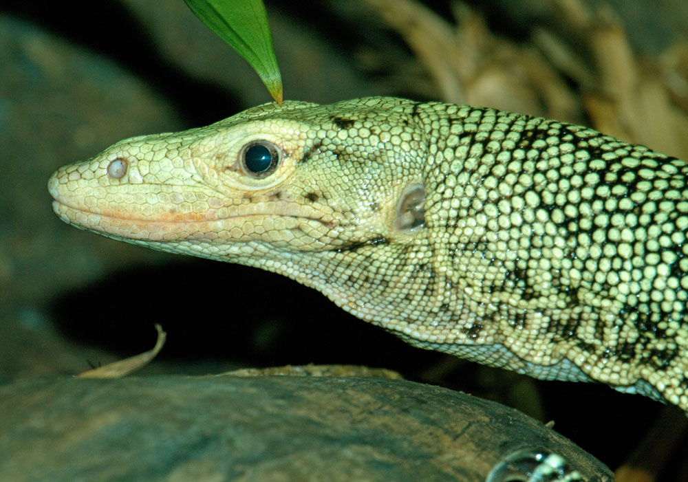 Quince monitor head shot laterall