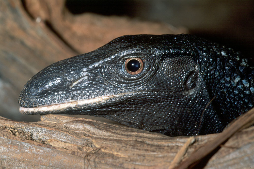 Rough-neck monitor head shot