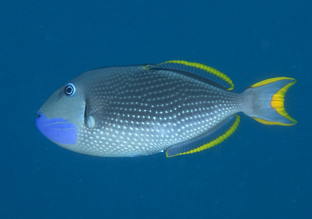 Gilded triggerfish photo