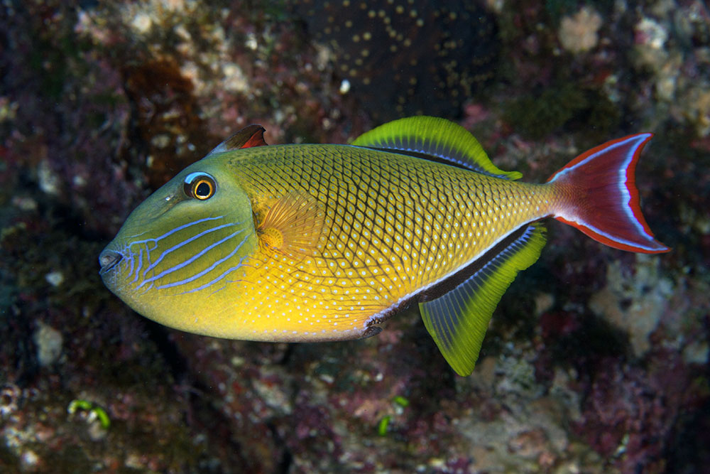 Crosshatch triggerfish