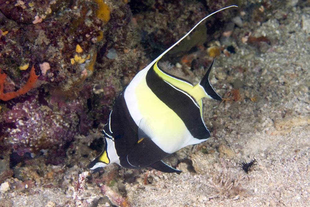 Moorish Idol Raja Ampat