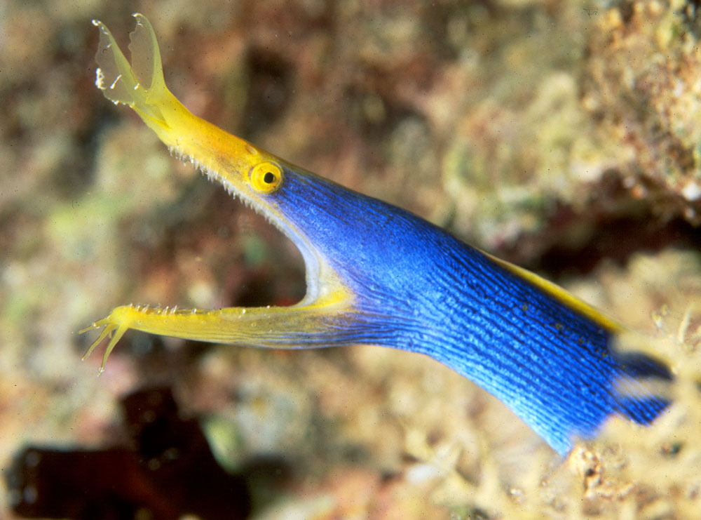 LEAFNOSE OR BLUE RIBBON EEL PHOTO
